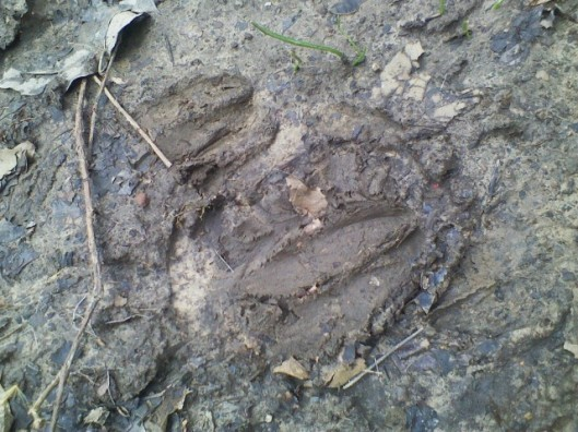 Hoofprints in the mud